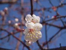 プサンの桜